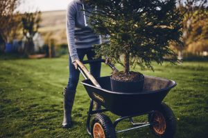 Rooted living christmas trees